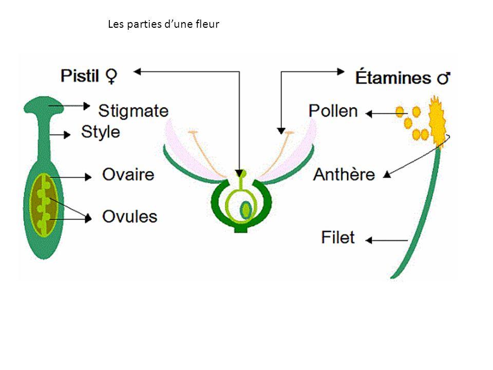 Les différentes parties dune fleur Rôle Pétales Sépales Appareil reproducteur femelle : Le pistil Appareil reproducteur mâle : les étamines Tableau illustrant le rôle des diff é rentes parties d une fleur.