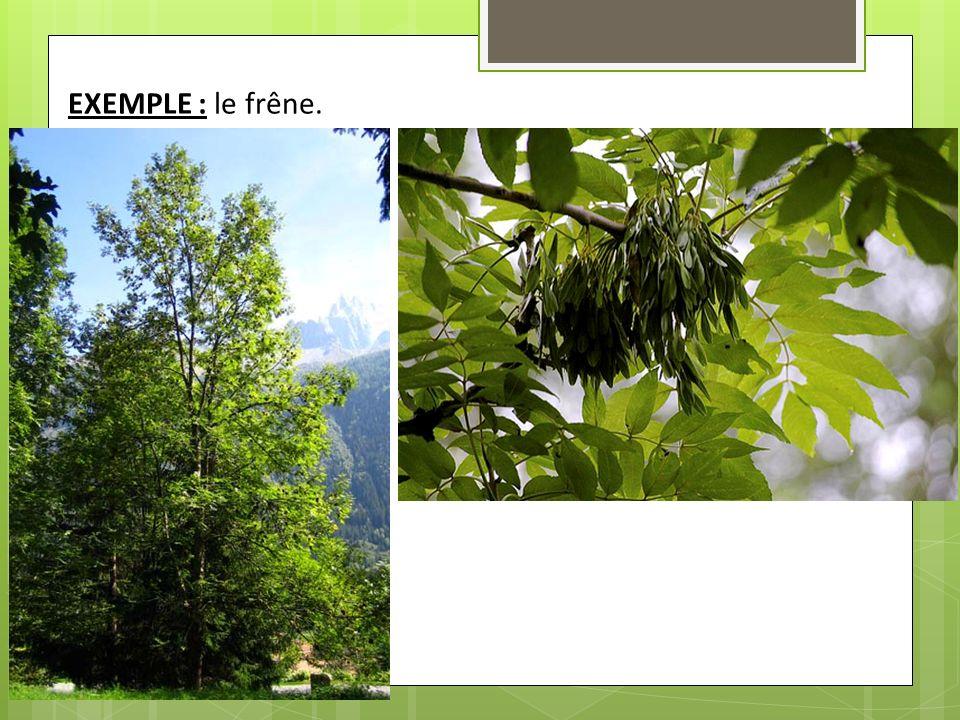 EXEMPLE : le frêne.