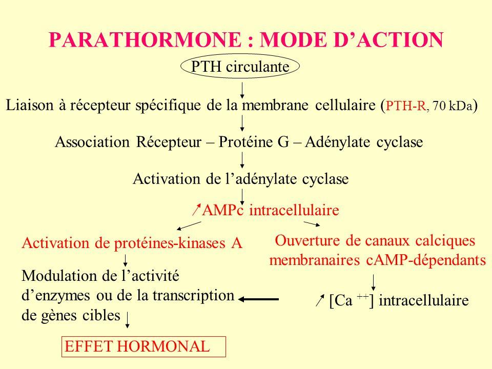 PARATHORMONE : MODE DACTION PTH circulante Liaison à récepteur spécifique de la membrane cellulaire ( PTH-R, 70 kDa ) Association Récepteur – Protéine