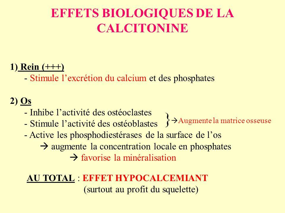 EFFETS BIOLOGIQUES DE LA CALCITONINE 1) Rein (+++) - Stimule lexcrétion du calcium et des phosphates 2) Os - Inhibe lactivité des ostéoclastes - Stimu