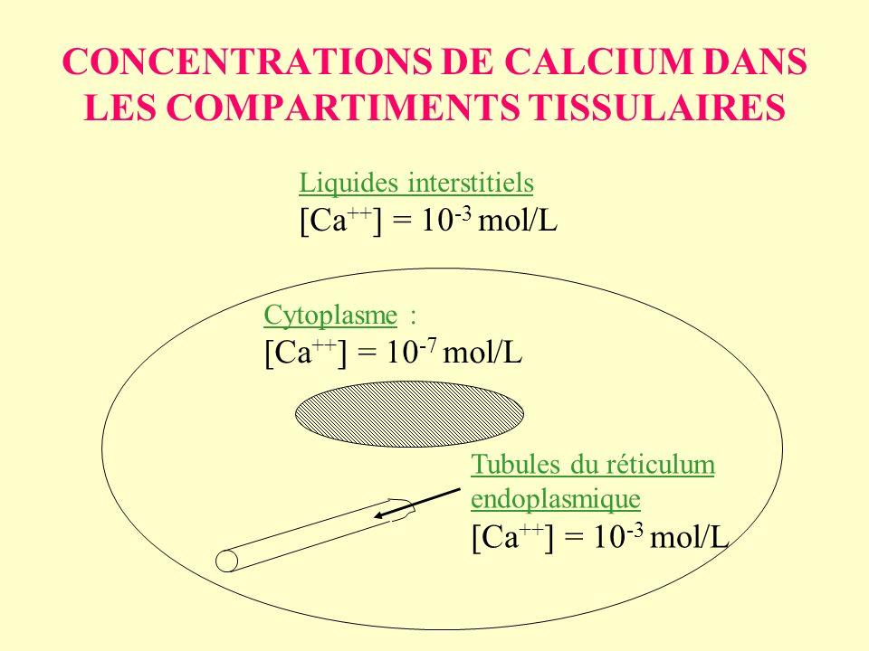 CONCENTRATIONS DE CALCIUM DANS LES COMPARTIMENTS TISSULAIRES Liquides interstitiels [Ca ++ ] = 10 -3 mol/L Cytoplasme : [Ca ++ ] = 10 -7 mol/L Tubules