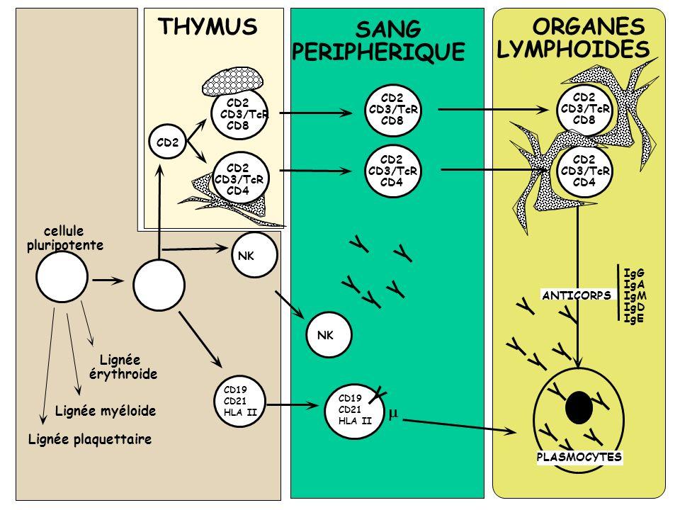THYMUS ORGANES LYMPHOIDES cellule pluripotente Lignée érythroide Lignée plaquettaire CD19 CD21 HLA II V I V I V I V I V I PLASMOCYTES V I V I V I V I