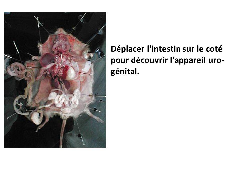Déplacer l'intestin sur le coté pour découvrir l'appareil uro- génital.