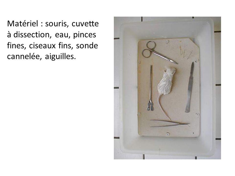 Matériel : souris, cuvette à dissection, eau, pinces fines, ciseaux fins, sonde cannelée, aiguilles.