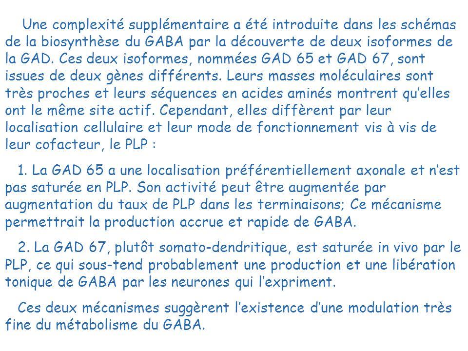 Une complexité supplémentaire a été introduite dans les schémas de la biosynthèse du GABA par la découverte de deux isoformes de la GAD. Ces deux isof