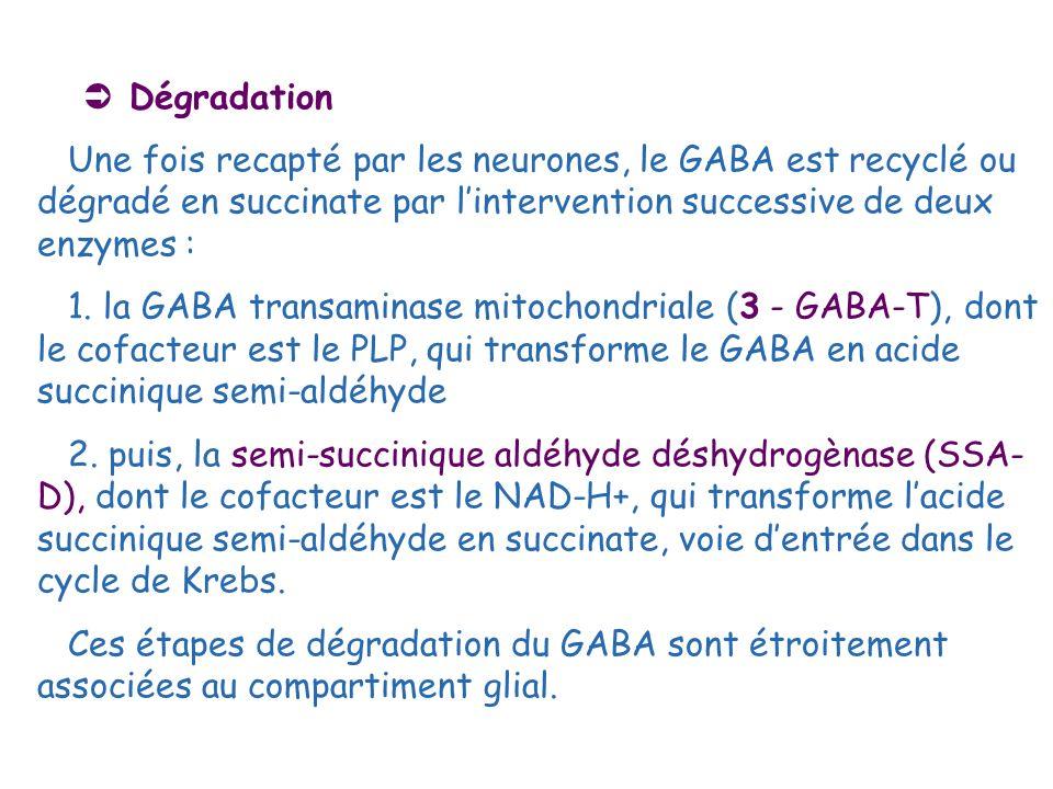 Dégradation Une fois recapté par les neurones, le GABA est recyclé ou dégradé en succinate par lintervention successive de deux enzymes : 1. la GABA t