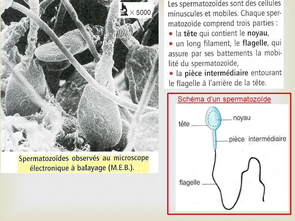Schéma dun spermatozoïde