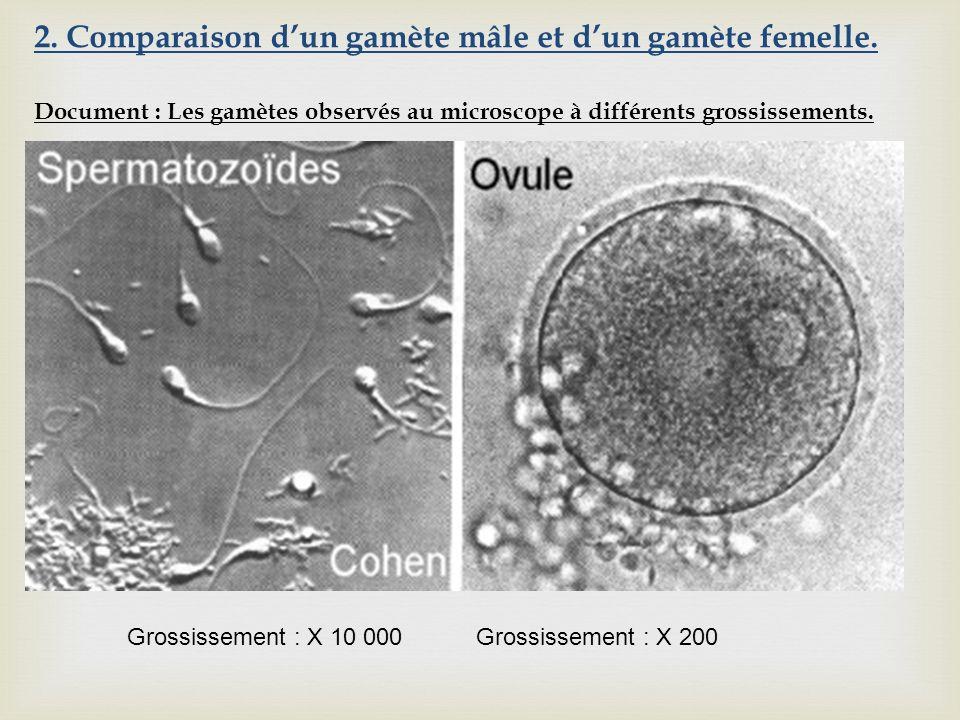 Grossissement : X 10 000 Grossissement : X 200 2. Comparaison dun gamète mâle et dun gamète femelle. Document : Les gamètes observés au microscope à d
