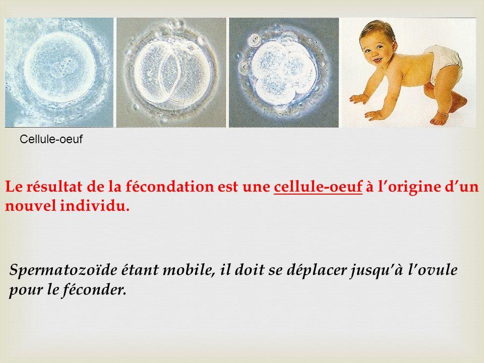 Spermatozoïde étant mobile, il doit se déplacer jusquà lovule pour le féconder. Le résultat de la fécondation est une cellule-oeuf à lorigine dun nouv