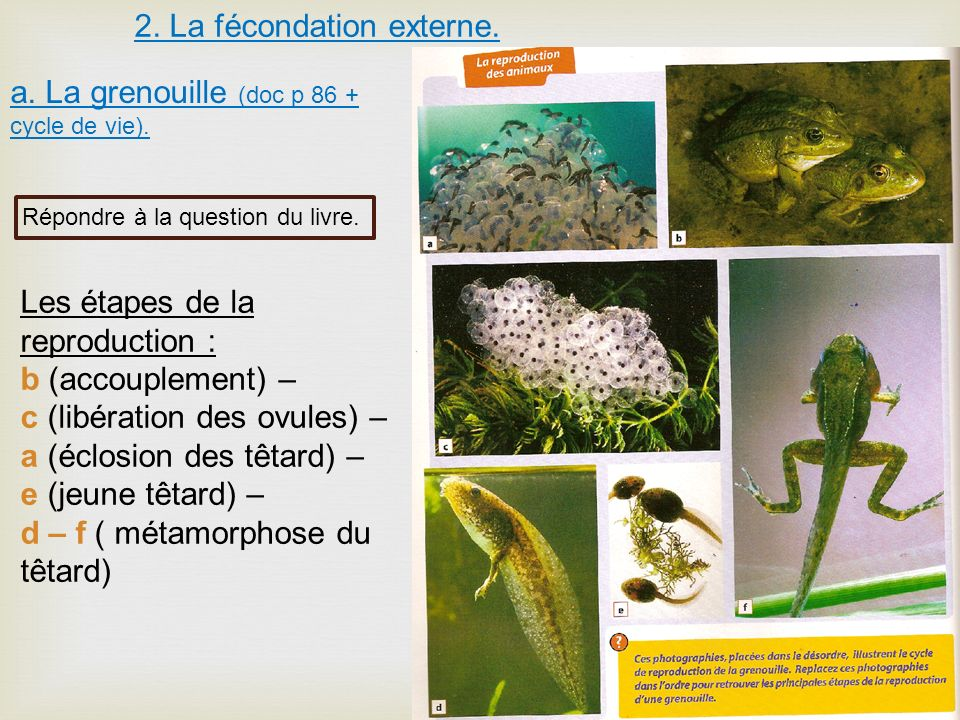 2. La fécondation externe. a. La grenouille (doc p 86 + cycle de vie). Répondre à la question du livre. Les étapes de la reproduction : b (accouplemen