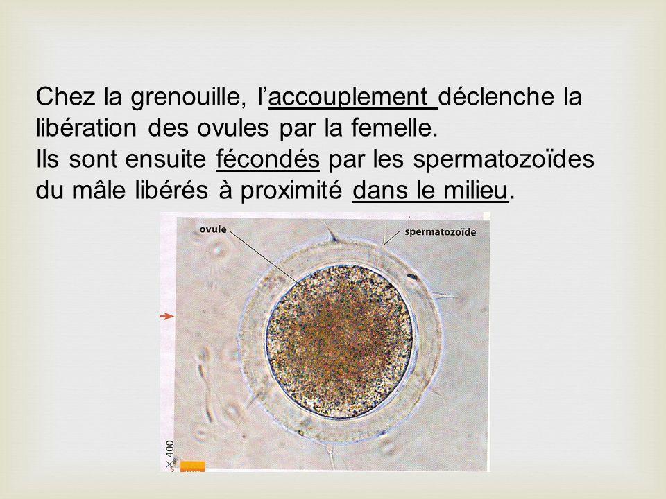 Chez la grenouille, laccouplement déclenche la libération des ovules par la femelle. Ils sont ensuite fécondés par les spermatozoïdes du mâle libérés