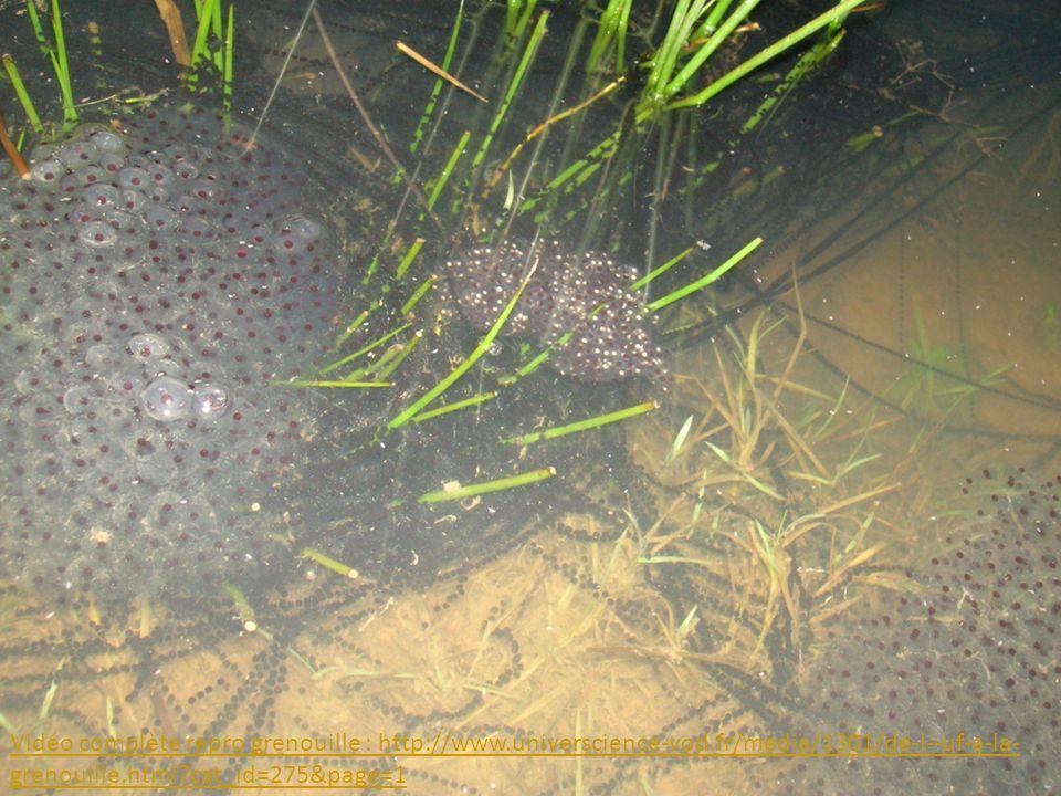2.La fécondation externe. a. La grenouille (doc p 86 + cycle de vie).