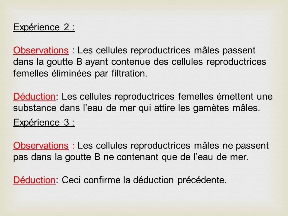 Expérience 2 : Observations : Les cellules reproductrices mâles passent dans la goutte B ayant contenue des cellules reproductrices femelles éliminées