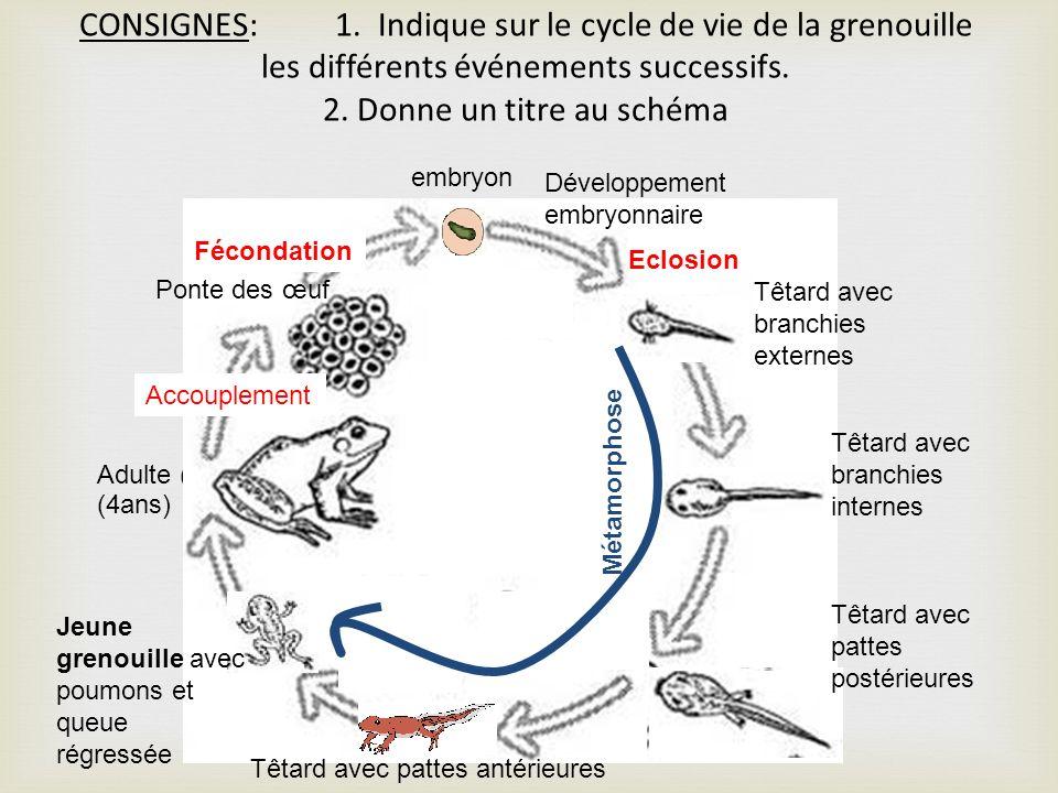 CONSIGNES: 1. Indique sur le cycle de vie de la grenouille les différents événements successifs. 2. Donne un titre au schéma Adulte ( (4ans) têtard Po
