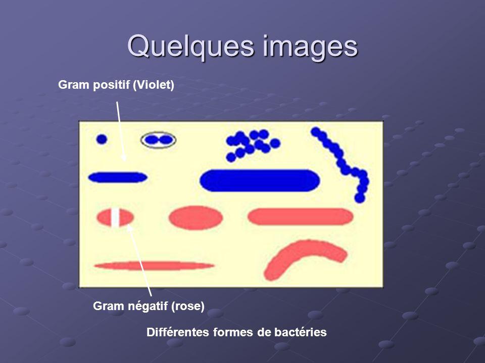 Quelques images Gram négatif (rose) Gram positif (Violet) Différentes formes de bactéries