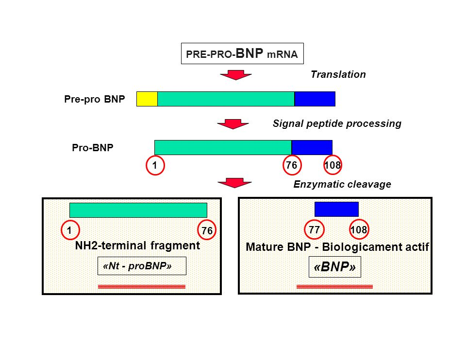 PRE-PRO- BNP mRNA Translation Pre-pro BNP Mature BNP - Biologicament actif 77108 Enzymatic cleavage «BNP» NH2-terminal fragment 1 76 «Nt - proBNP» Sig