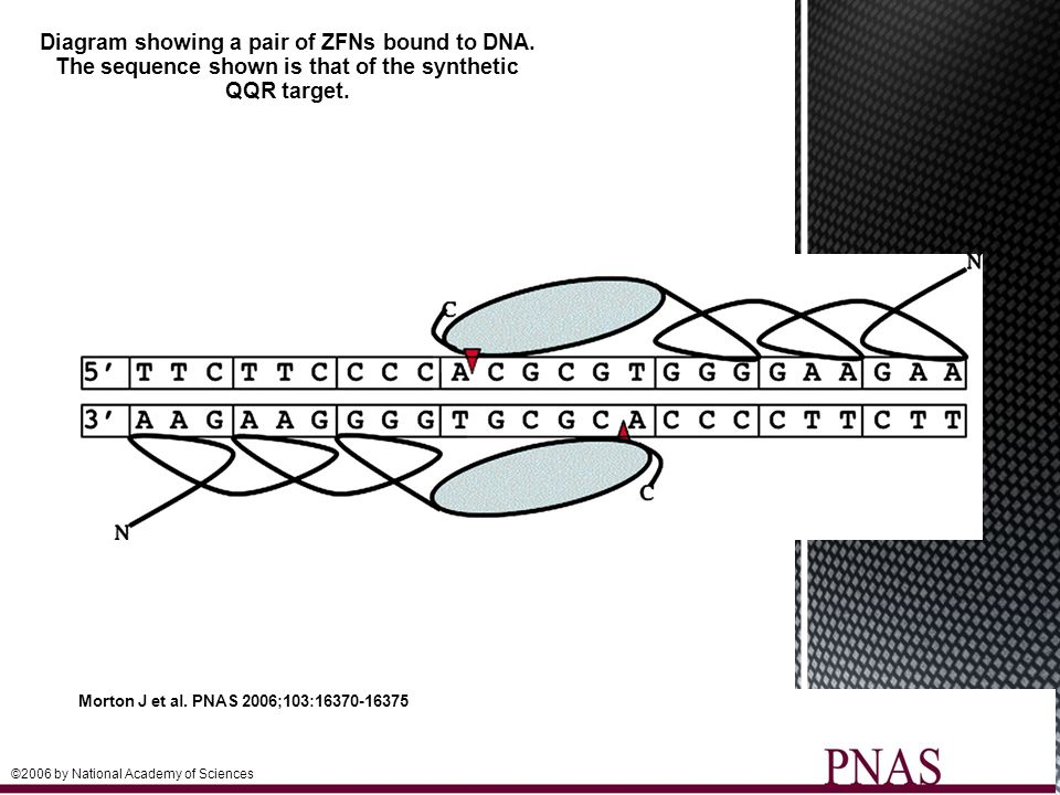 Diagram showing a pair of ZFNs bound to DNA.