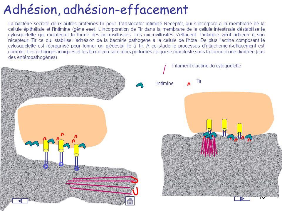 10 Adhésion, adhésion-effacement La bactérie secrète deux autres protéines:Tir pour Translocator intimine Receptor, qui sincorpore à la membrane de la
