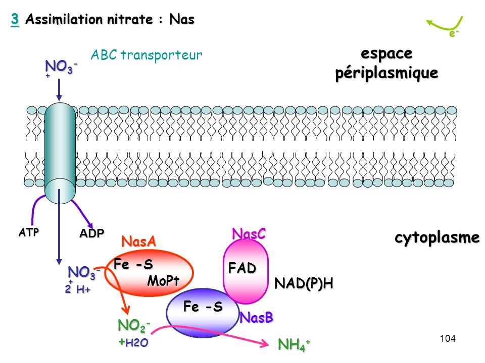 104 e-e-e-e- cytoplasme espacepériplasmique 2 H+ 2 H+ NO 3 - + H2O NO 2 - +FAD Fe -S MoPt MoPt Fe -S NasCNasB NasAATPADP NH 4 + NAD(P)H 33 Assimilatio