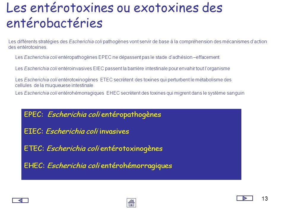 13 Les entérotoxines ou exotoxines des entérobactéries Les différents stratégies des Escherichia coli pathogènes vont servir de base à la compréhensio