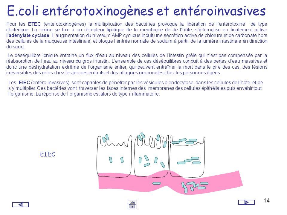 14 E.coli entérotoxinogènes et entéroinvasives Pour les ETEC (enterotoxinogènes) la multiplication des bactéries provoque la libération de lentérotoxi