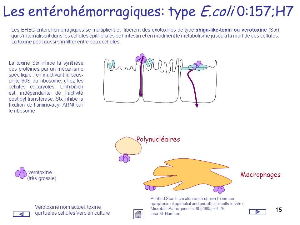 15 Les entérohémorragiques: type E.coli 0:157;H7 Les EHEC entérohémorragiques se multiplient et libèrent des exotoxines de type shiga-like-toxin ou ve