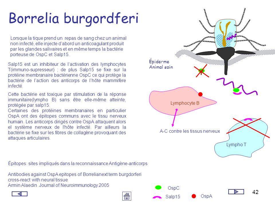 42 Borrelia burgordferi Épiderme Animal sain Lorsque la tique prend un repas de sang chez un animal non infecté, elle injecte dabord un anticoagulant