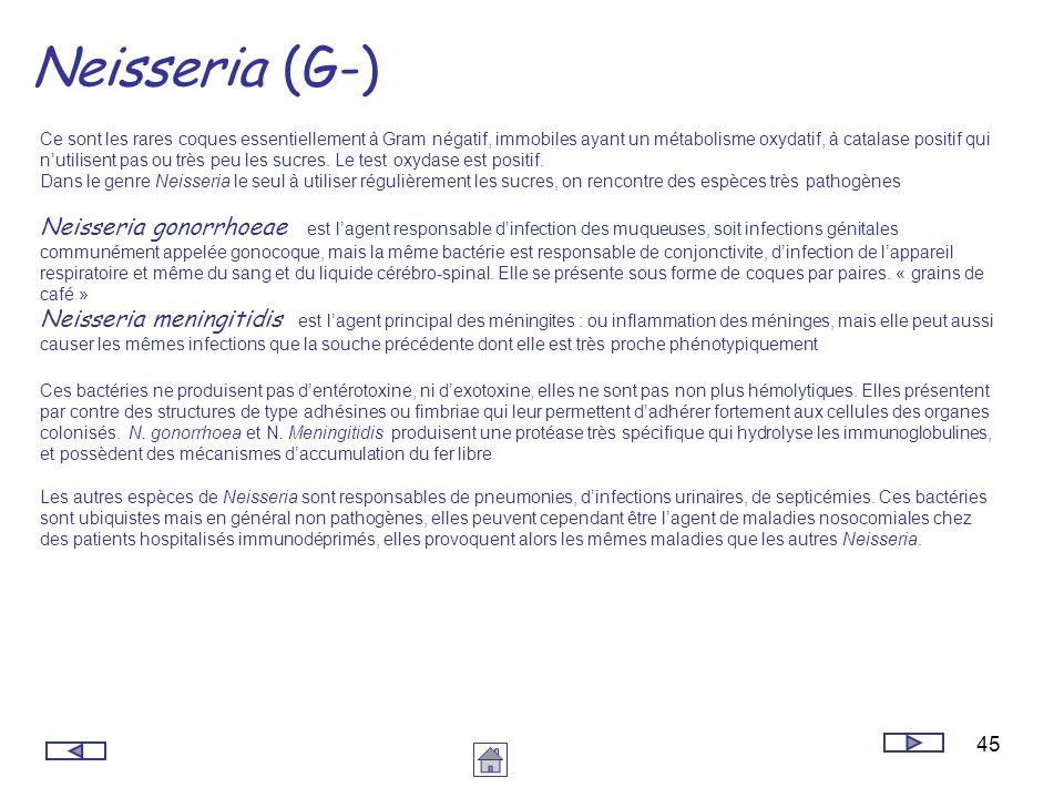 45 Neisseria (G-) Ce sont les rares coques essentiellement à Gram négatif, immobiles ayant un métabolisme oxydatif, à catalase positif qui nutilisent
