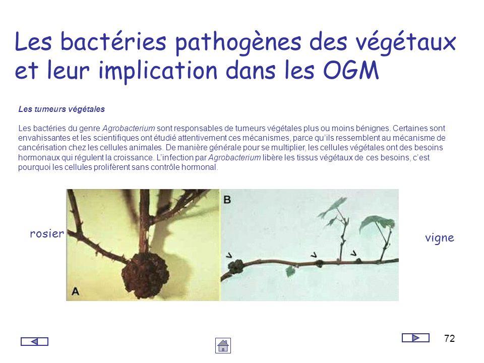 72 Les bactéries pathogènes des végétaux et leur implication dans les OGM Les tumeurs végétales Les bactéries du genre Agrobacterium sont responsables
