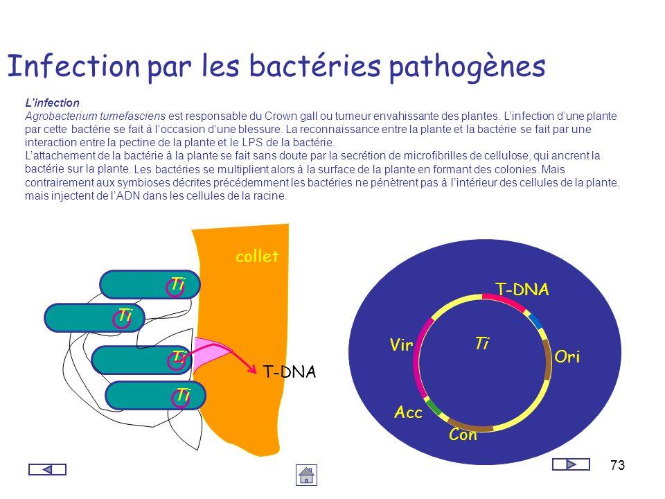 73 Infection par les bactéries pathogènes Linfection Agrobacterium tumefasciens est responsable du Crown gall ou tumeur envahissante des plantes. Linf