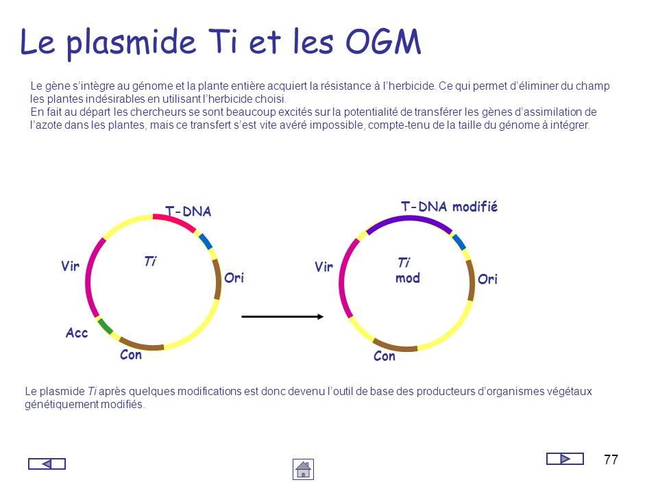 77 Le plasmide Ti et les OGM Le gène sintègre au génome et la plante entière acquiert la résistance à lherbicide. Ce qui permet déliminer du champ les
