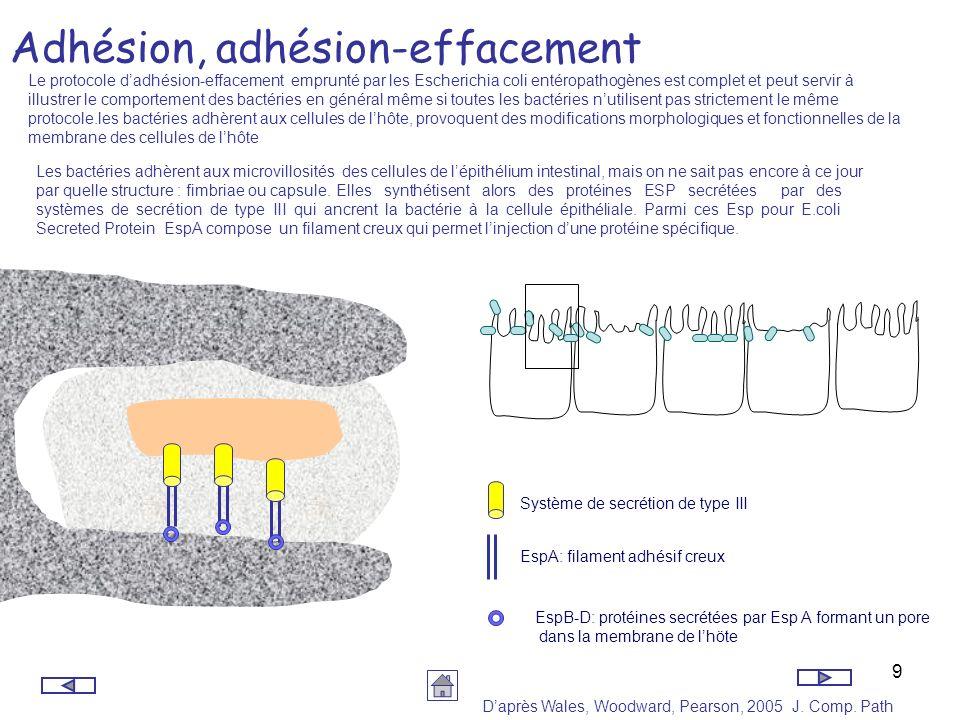 10 Adhésion, adhésion-effacement La bactérie secrète deux autres protéines:Tir pour Translocator intimine Receptor, qui sincorpore à la membrane de la cellule épithéliale et lintimine (gène eae).