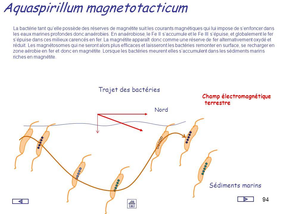 94 Aquaspirillum magnetotacticum Nord Sédiments marins Trajet des bactéries La bactérie tant quelle possède des réserves de magnétite suit les courant