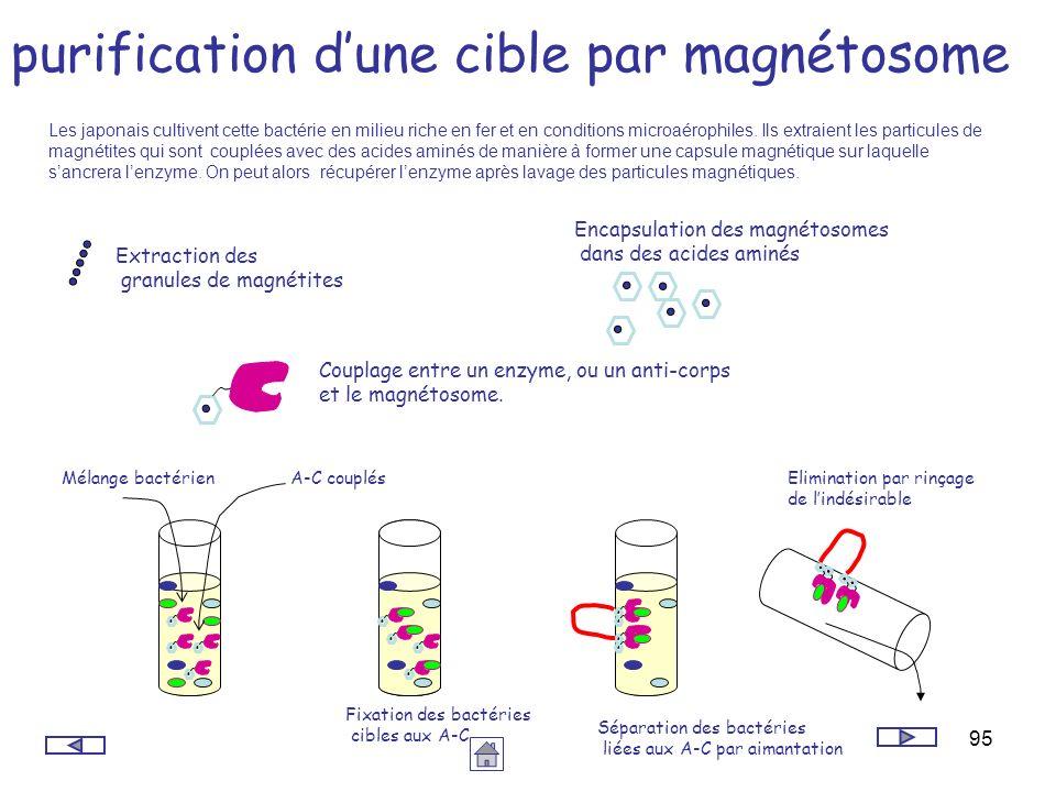 95 purification dune cible par magnétosome Extraction des granules de magnétites Encapsulation des magnétosomes dans des acides aminés Couplage entre