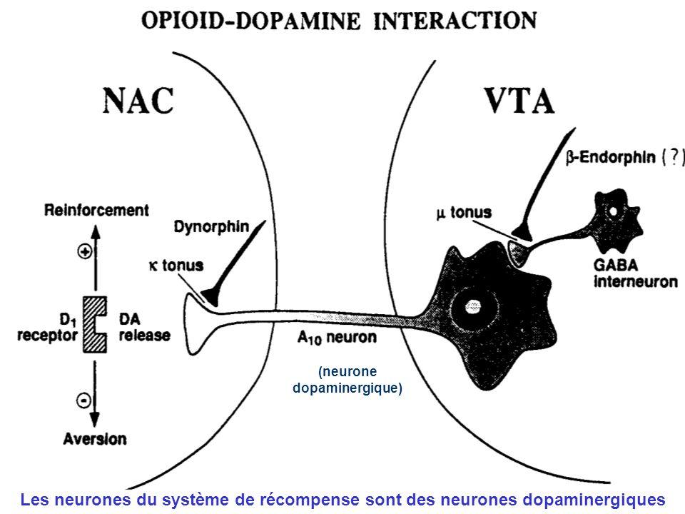 (neurone dopaminergique) Les neurones du système de récompense sont des neurones dopaminergiques