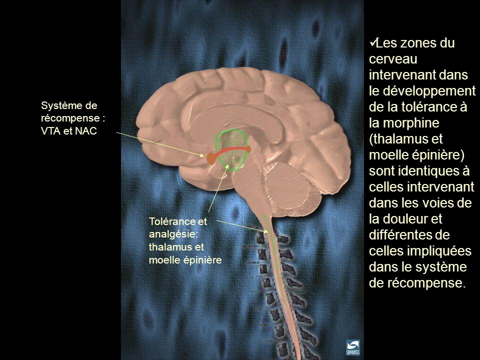 Tolérance et analgésie: thalamus et moelle épinière Système de récompense : VTA et NAC Les zones du cerveau intervenant dans le développement de la to