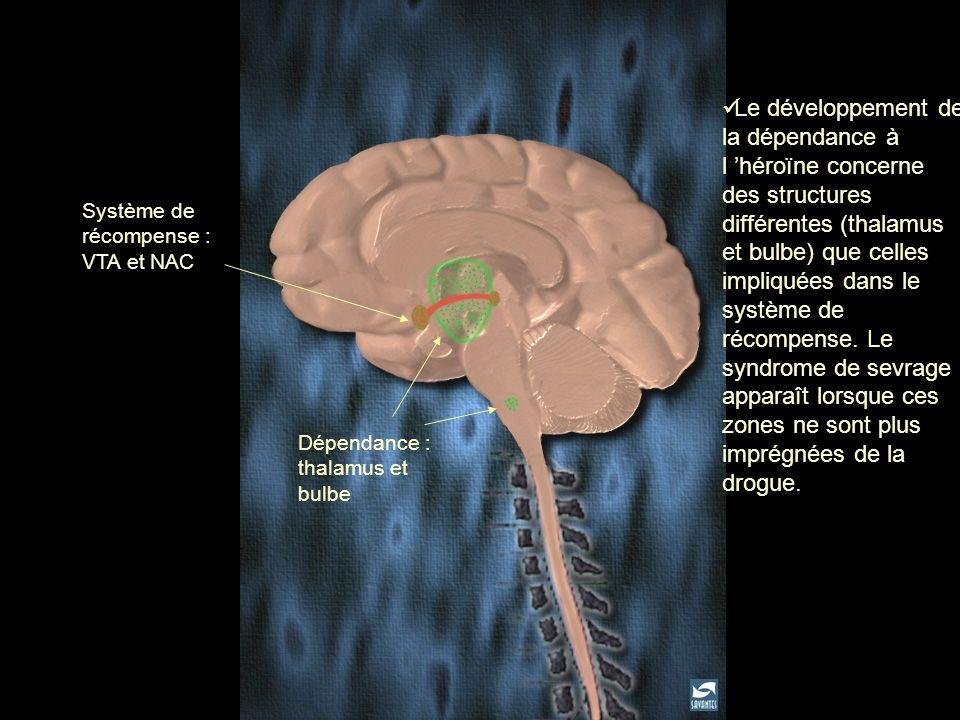 Dépendance : thalamus et bulbe Système de récompense : VTA et NAC Le développement de la dépendance à l héroïne concerne des structures différentes (t