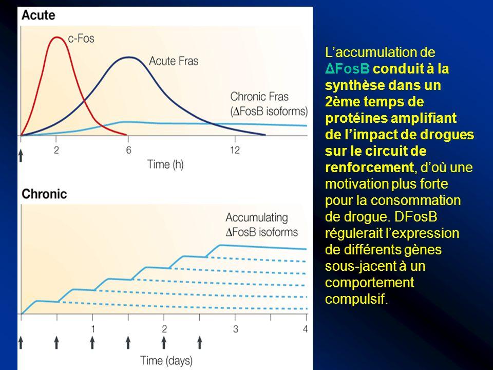Laccumulation de ΔFosB conduit à la synthèse dans un 2ème temps de protéines amplifiant de limpact de drogues sur le circuit de renforcement, doù une