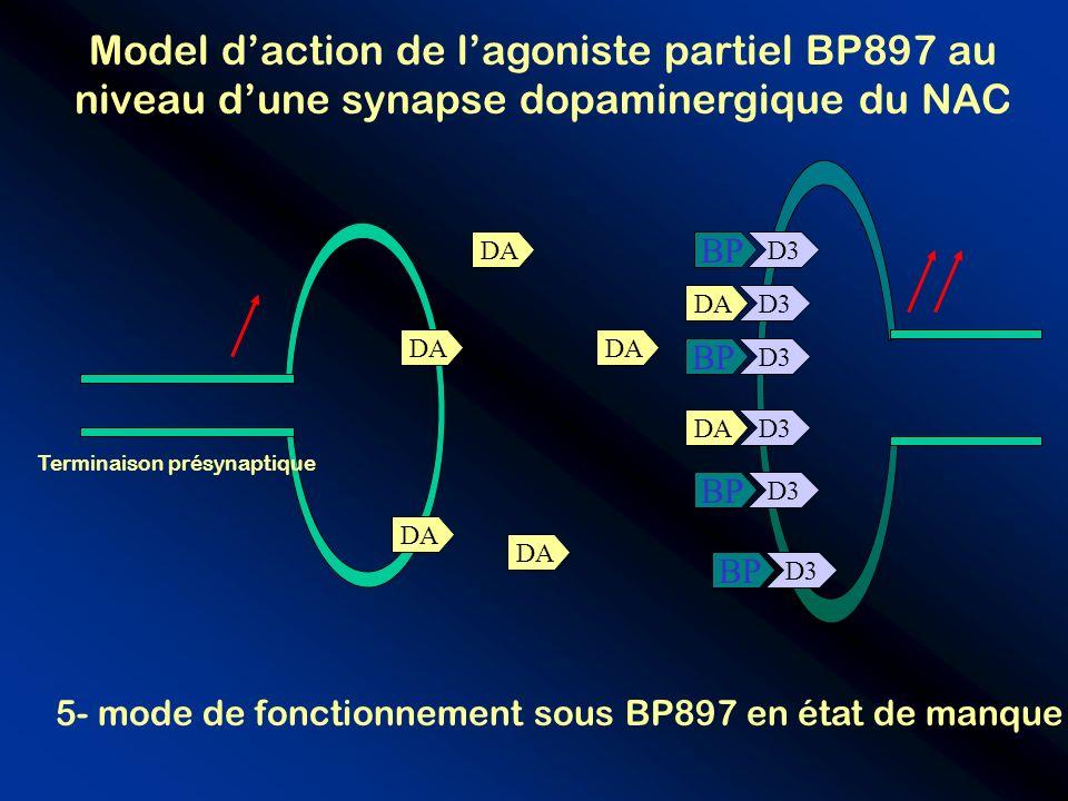 D3 BP DA BP D3 DA Terminaison présynaptique 5- mode de fonctionnement sous BP897 en état de manque Model daction de lagoniste partiel BP897 au niveau