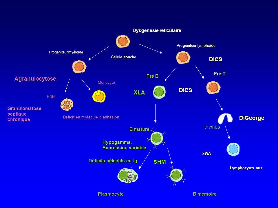 Dysgénésie réticulaire DICS DICS Lymphocytes nus SWA DiGeorge Cellule souche Progéniteur lymphoïde Pré B Pré T thymus B mature Plasmocyte B mémoire XLA SHM Hypogamma.