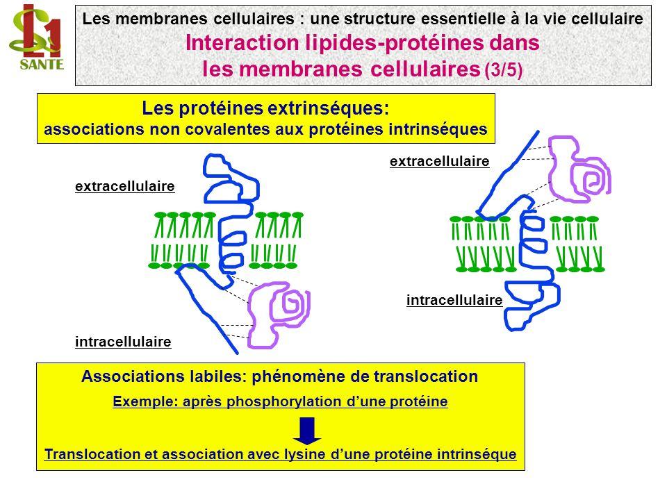 Associations labiles: phénomène de translocation Exemple: après phosphorylation dune protéine Translocation et association avec lysine dune protéine intrinséque Les protéines extrinséques: associations non covalentes aux protéines intrinséques extracellulaire intracellulaire extracellulaire intracellulaire Les membranes cellulaires : une structure essentielle à la vie cellulaire Interaction lipides-protéines dans les membranes cellulaires (3/5)