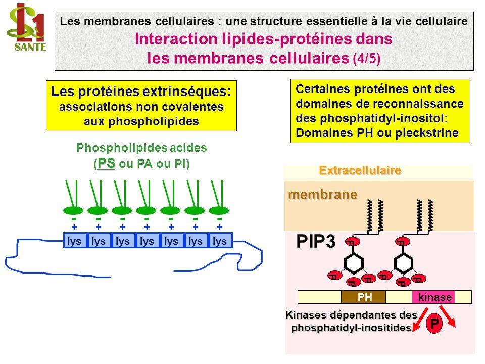 Certaines protéines ont des domaines de reconnaissance des phosphatidyl-inositol: Domaines PH ou pleckstrine ------- lys + ++++++ Les protéines extrinséques: associations non covalentes aux phospholipides PS Phospholipides acides ( PS ou PA ou PI) PIP3 P P P P PH P P P P P kinaseExtracellulairemembrane Kinases dépendantes des phosphatidyl-inositides Les membranes cellulaires : une structure essentielle à la vie cellulaire Interaction lipides-protéines dans les membranes cellulaires (4/5)