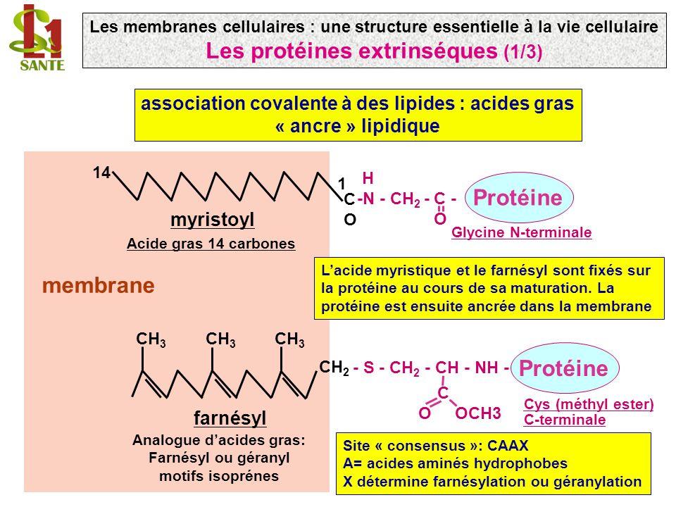 membrane association covalente à des lipides : acides gras « ancre » lipidique COCO H -N - CH 2 - C - O Protéine 1 14 myristoyl Glycine N-terminale Acide gras 14 carbones CH 3 CH 2 - S - CH 2 - CH - NH - C O OCH3 Protéine farnésyl Cys (méthyl ester) C-terminale Analogue dacides gras: Farnésyl ou géranyl motifs isoprénes Lacide myristique et le farnésyl sont fixés sur la protéine au cours de sa maturation.