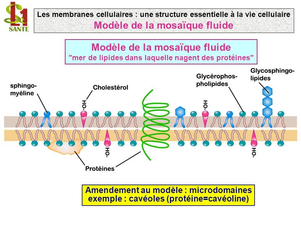Modèle de la mosaïque fluide mer de lipides dans laquelle nagent des protéines Amendement au modèle : microdomaines exemple : cavéoles (protéine=cavéoline) Les membranes cellulaires : une structure essentielle à la vie cellulaire Modèle de la mosaïque fluide