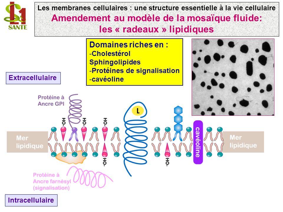 Extracellulaire Intracellulaire Domaines riches en : -Cholestérol Sphingolipides -Protéines de signalisation -cavéoline Les membranes cellulaires : une structure essentielle à la vie cellulaire Amendement au modèle de la mosaïque fluide: les « radeaux » lipidiques