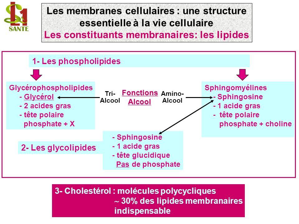 1- Les phospholipides 3- Cholestérol : molécules polycycliques 30% des lipides membranaires indispensable Glycérophospholipides - Glycérol - 2 acides gras - tête polaire phosphate + X Tri- Alcool Sphingomyélines - Sphingosine - 1 acide gras - tête polaire phosphate + choline Amino- Alcool FonctionsAlcool - Sphingosine - 1 acide gras - tête glucidique Pas de phosphate 2- Les glycolipides Les membranes cellulaires : une structure essentielle à la vie cellulaire Les constituants membranaires: les lipides