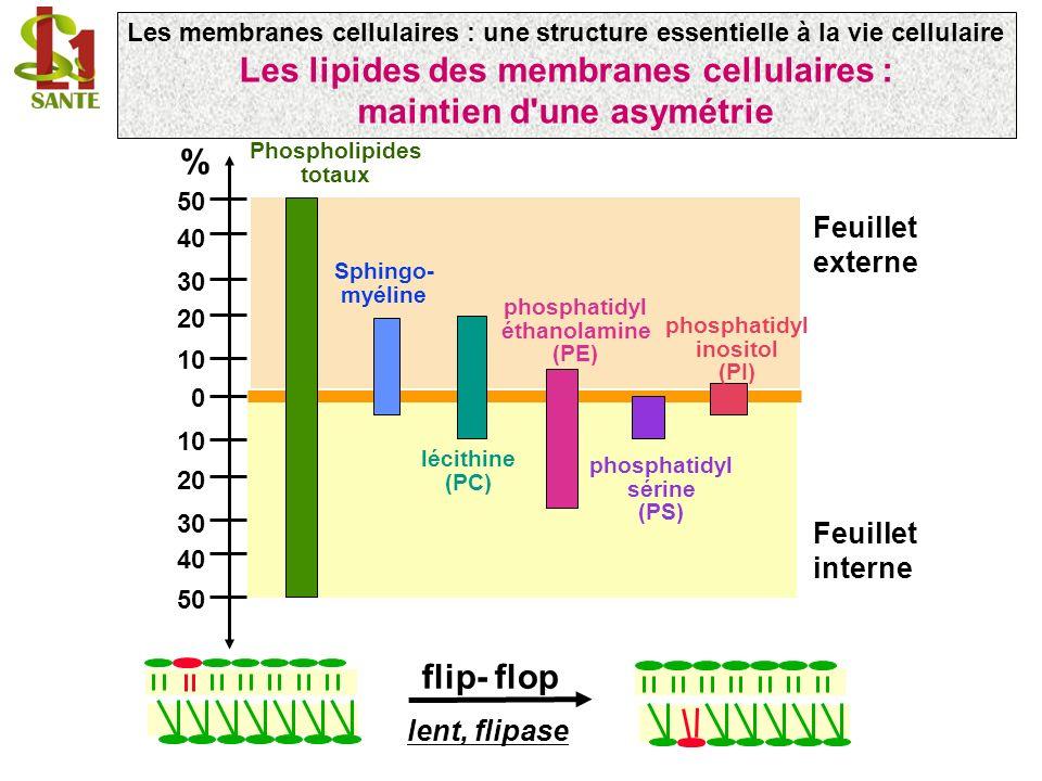 grande quantité dans la membrane plasmique : 30% des lipides HO tête polaire structure cyclique rigide - Rigidifie les bicouches de phospholipides en phase fluide (acides gras saturés et insaturés, têtes polaires PE et PC) - Fluidifie DPPC (acide gras palmitique, tête PC) partie hydrophobe interface partie hydrophile in vitro dans les liposomes Choline glycérol Les membranes cellulaires : une structure essentielle à la vie cellulaire Interactions cholestérol-glycérophospholipides