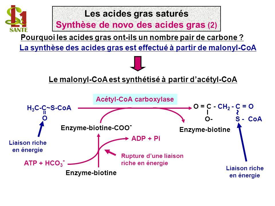 Le malonyl-CoA est synthétisé à partir dacétyl-CoA ADP + Pi Enzyme-biotine-COO - Enzyme-biotine ATP + HCO 3 - Enzyme-biotine ~ H 3 C-C~S-CoA O = O = C