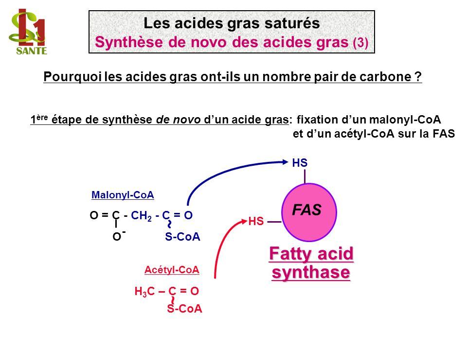 FAS Fatty acid synthase 1 ère étape de synthèse de novo dun acide gras: fixation dun malonyl-CoA et dun acétyl-CoA sur la FAS O = C - CH 2 - C = O O -