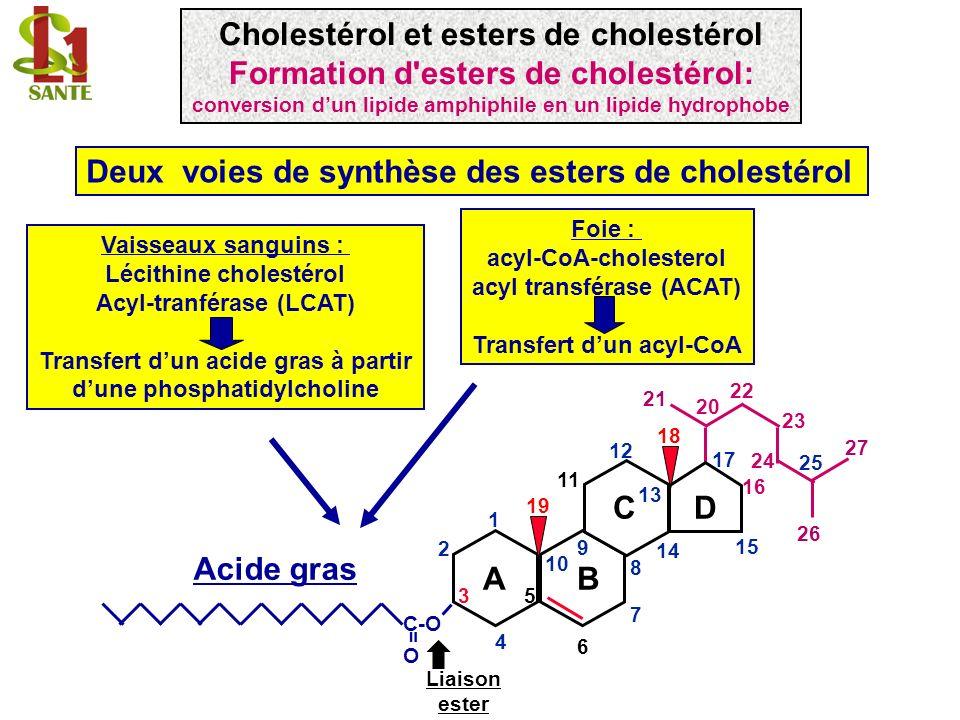 Structure générale d une lipoprotéine Matrice : triglycérides cholestérol estérifié monocouche de surface : phospholipides cholestérol libres apolipoprotéines Les esters de cholestérol sont transportés avec les triglycérides dans le noyau hydrophobe des lipoprotéines Acides gras Cholestérol et esters de cholestérol Les esters de cholestérol